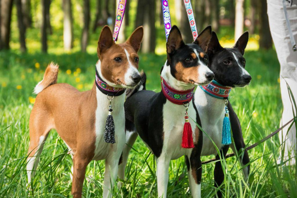 Басенджи: описание породы нелающих собак с фото и видео