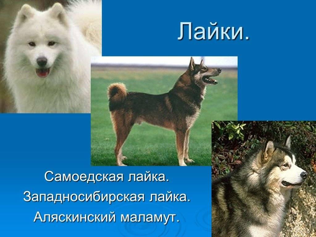 Восточно-сибирская лайка: фото, описание породы, характер и отзывы охотников