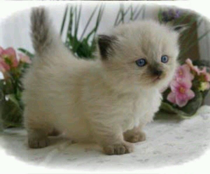 9 пород мини кошек: самые маленькие породы кошек в мире