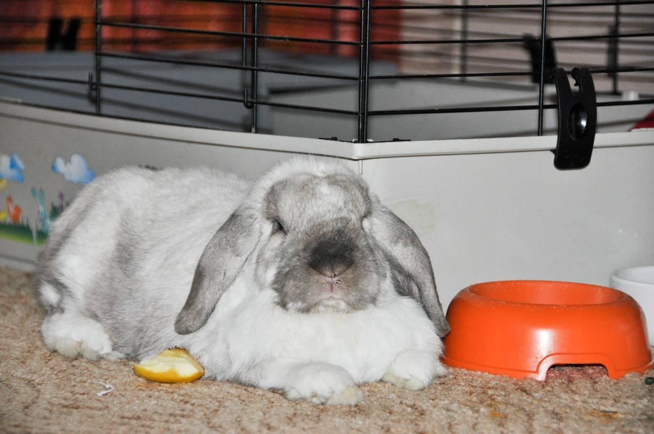 Сколько дней крольчиха кормит крольчат молоком и сколько раз в сутки