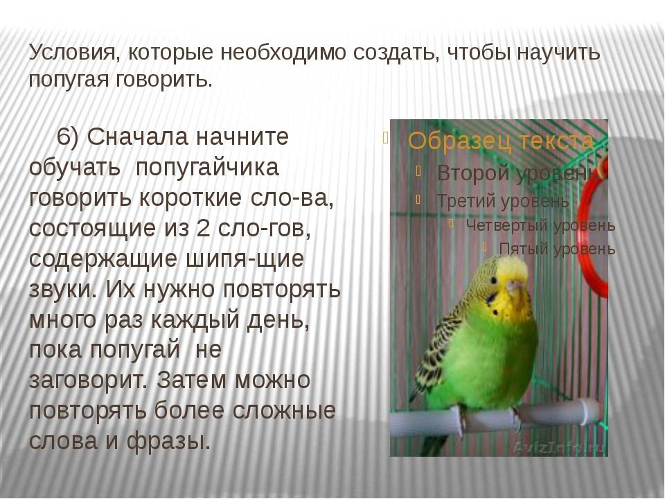 Способы обучения волнистых попугаев разговору