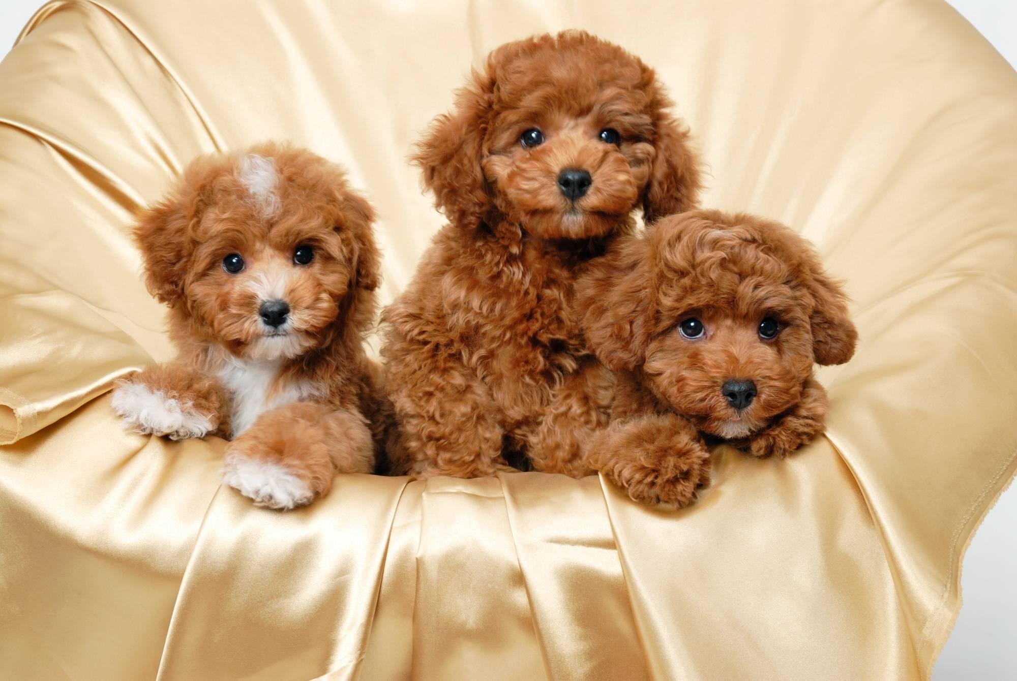 Особенности собак пушистых пород: виды, характеристика, уход за пушистыми собачками