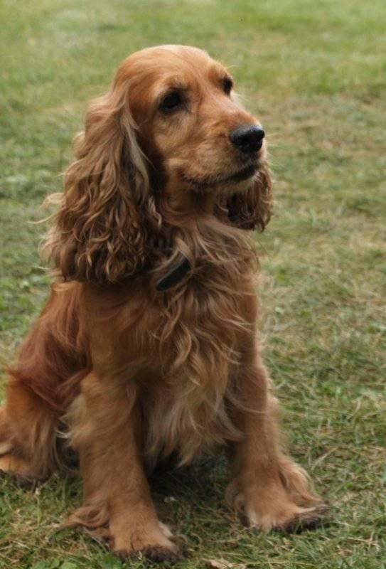 Кокер спаниель (английский) – энциклопедия о собаках