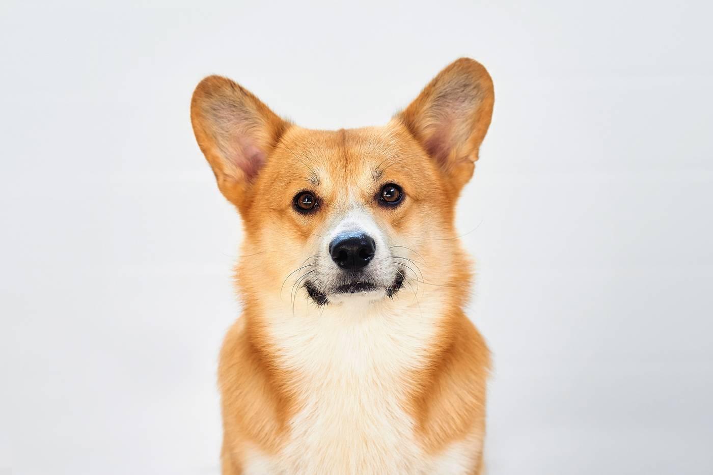 Корги уход - как ухаживать за собакой породы корги?   vseocorgi
