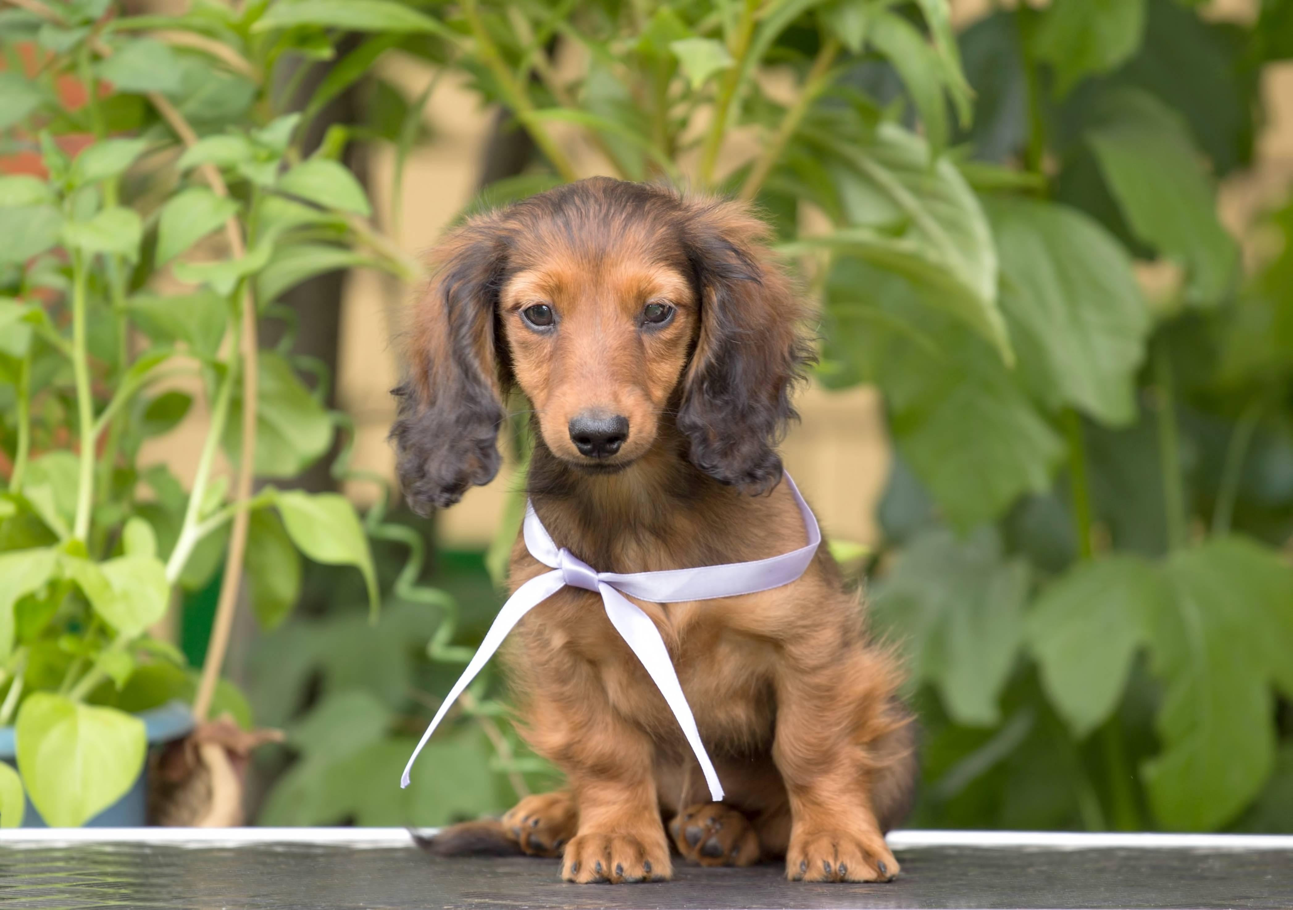 Карликовая такса – характеристика породы: размер и вид собаки, характер и поведение, содержание в домашних условиях