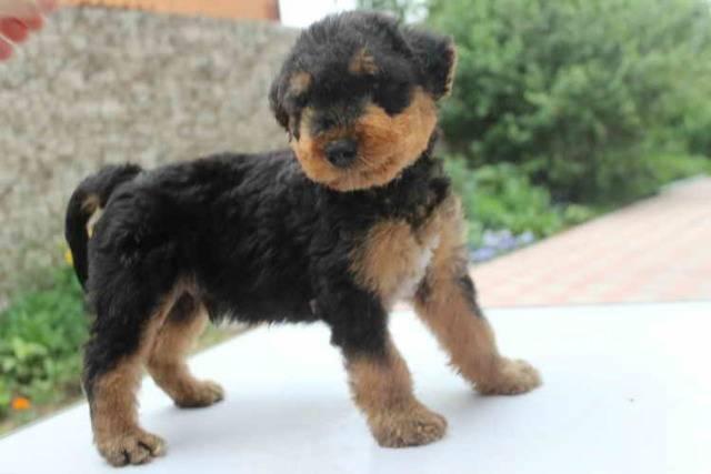 Эрдельтерьер – великолепный охотник и весёлый домашний пёс