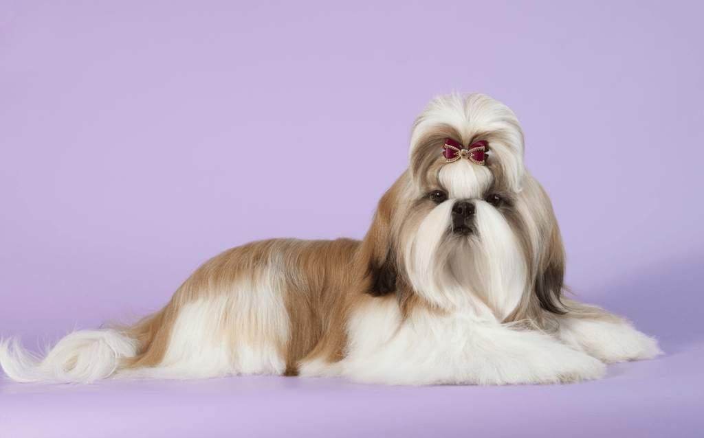 Описание породы ши-тцу: стандарты и характер собак, содержание и уход за ши-тцу, отзывы владельцев