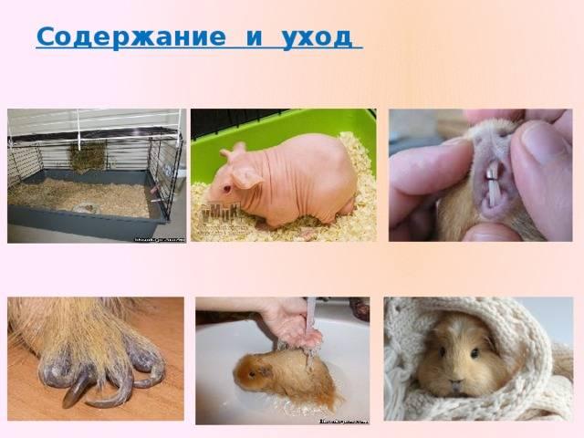 [новое исследование] сколько лет живут морские свинки: средняя продолжительность жизни в домашних условиях и на воле, возраст грызуна по человеческим меркам