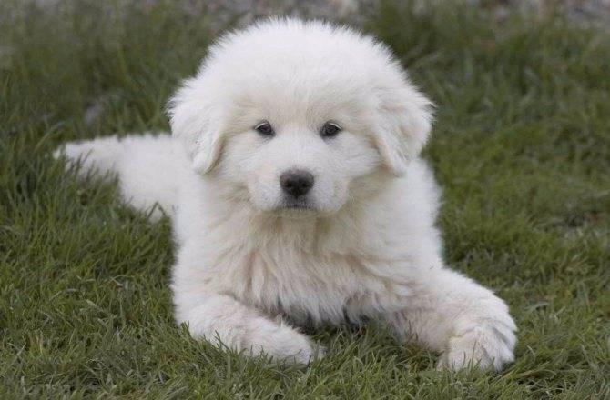 Описание породы пиренейская горная собака: стандарт, уход, фото и видео