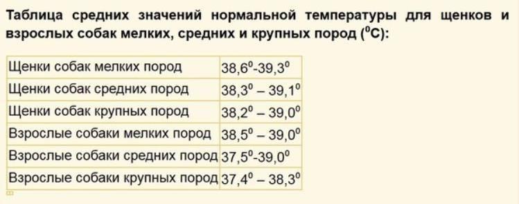 Нормальная температура у собак мелких пород: какая должна быть теплота тела у шпица, чихуахуа, той терьера, мопса и других