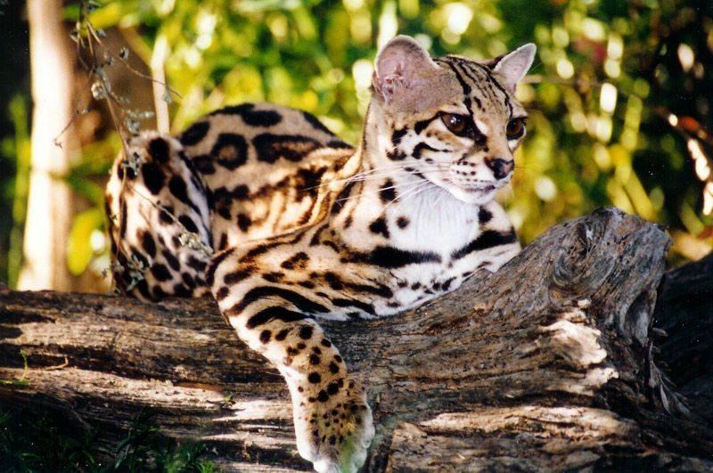 Дикая кошка-леопард оцелот – среда обитания, виды, размножение, питание, возможность одомашнивания