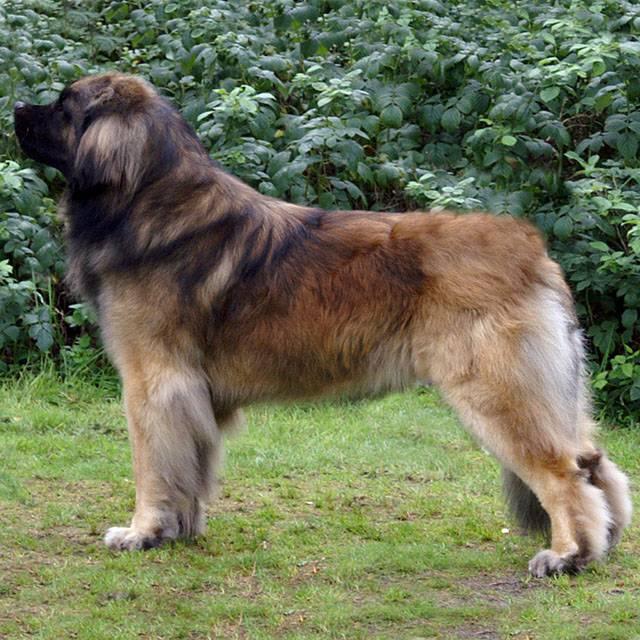 Самые большие породы собак: топ10 с фото и названиями