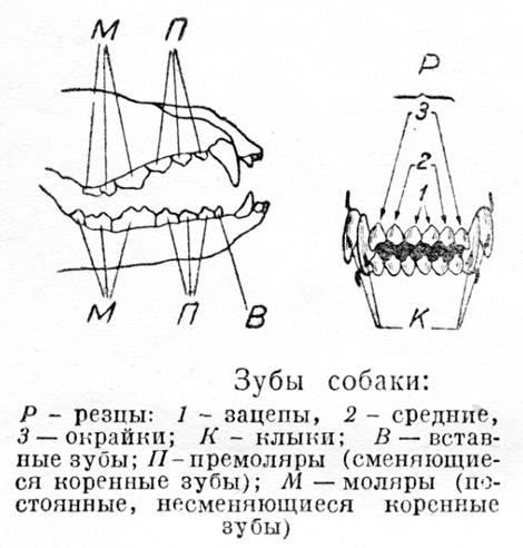 Смена молочных зубов у собак: возрастные рамки и возможные проблемы
