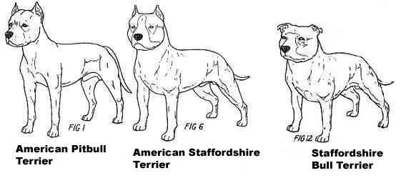 Стаффордширский бультерьер: улыбчивый крепыш с проницательным взглядом