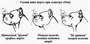 Кане корсо: описание породы, характеристика, уход и содержание, кормление, щенки, стандарты