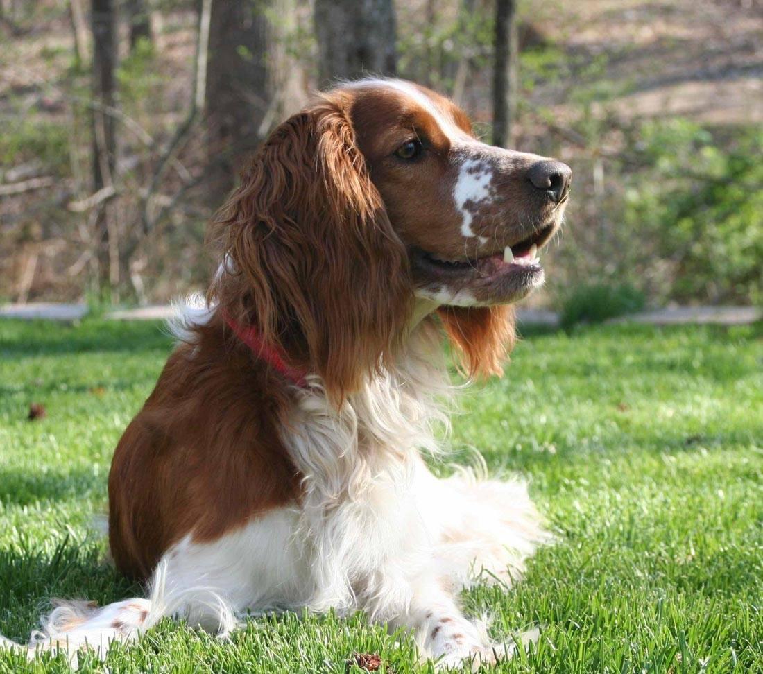 Филд-спаниель: как выглядит питомец на фото, описание породы, характера и особенности грамотного ухода за собакой