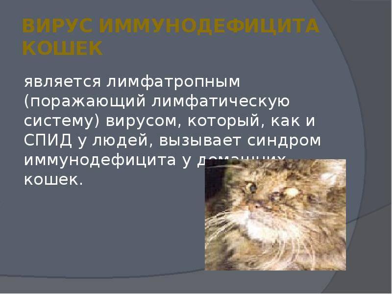 Иммунодефицит у кошек: симптомы, диагностика и лечение