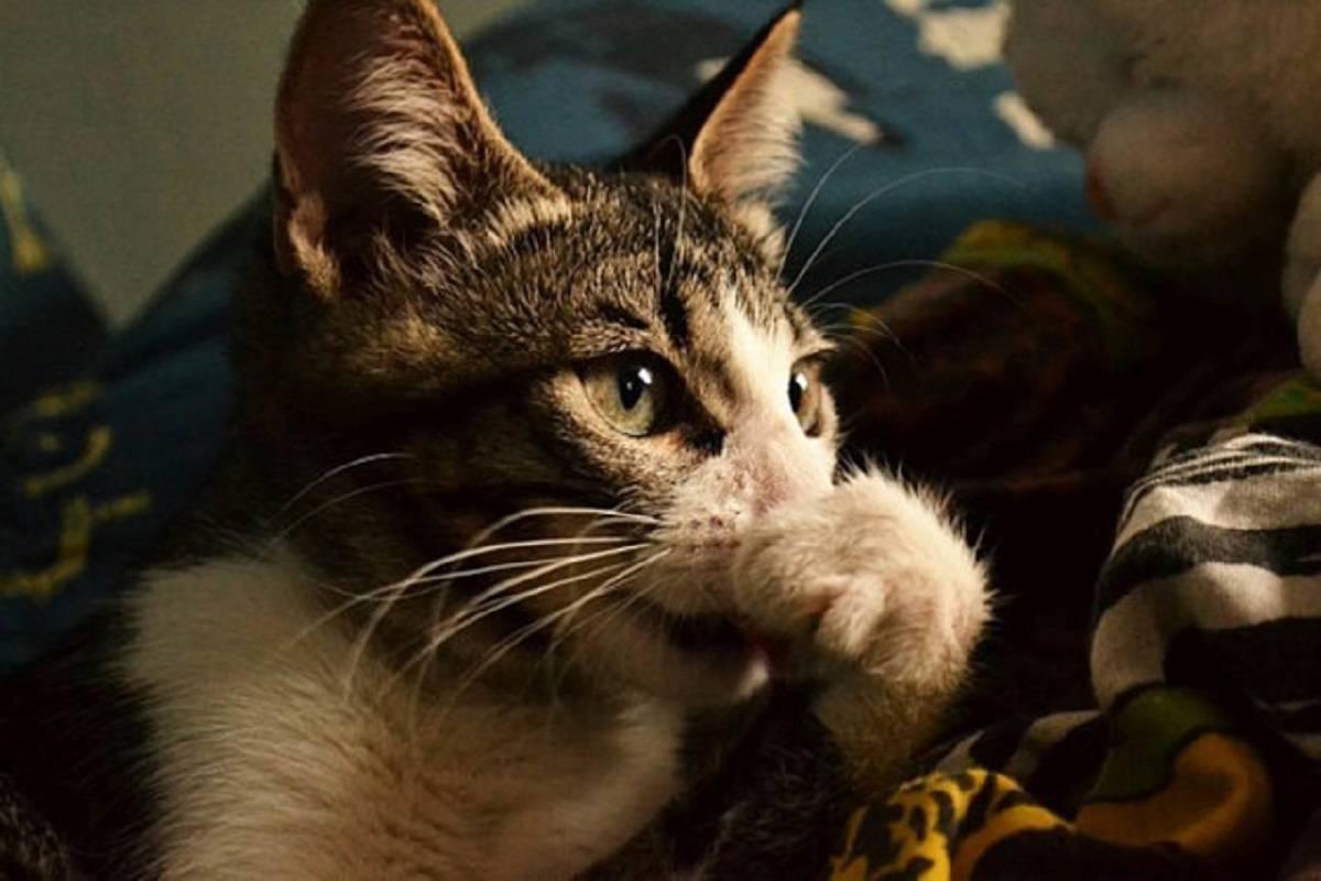 Кошка чихает и сопли: чем лечить в домашних условиях