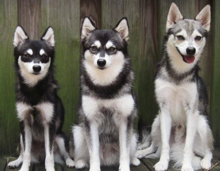 Какие бывают виды и окрасы хаски: описание расцветок шерсти у собак и существуют ли разновидности данной породы