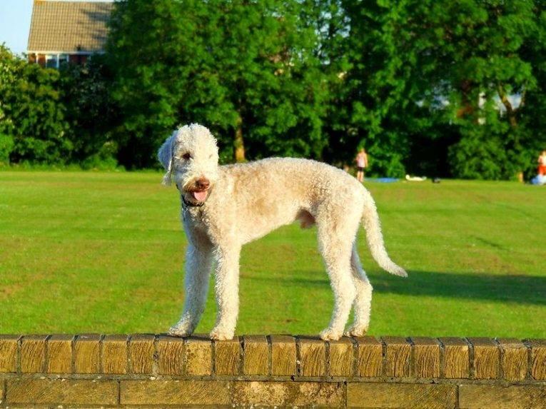 Характеристики бедлингтон-терьеров: особенности этой породы собак