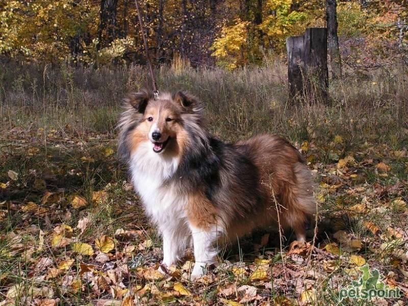 Шелти собака: характеристика породы, описание стандарта, плюсы и минусы, фото щенков