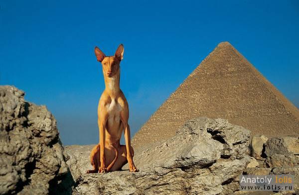 Фараонова собака - описание и характер породы