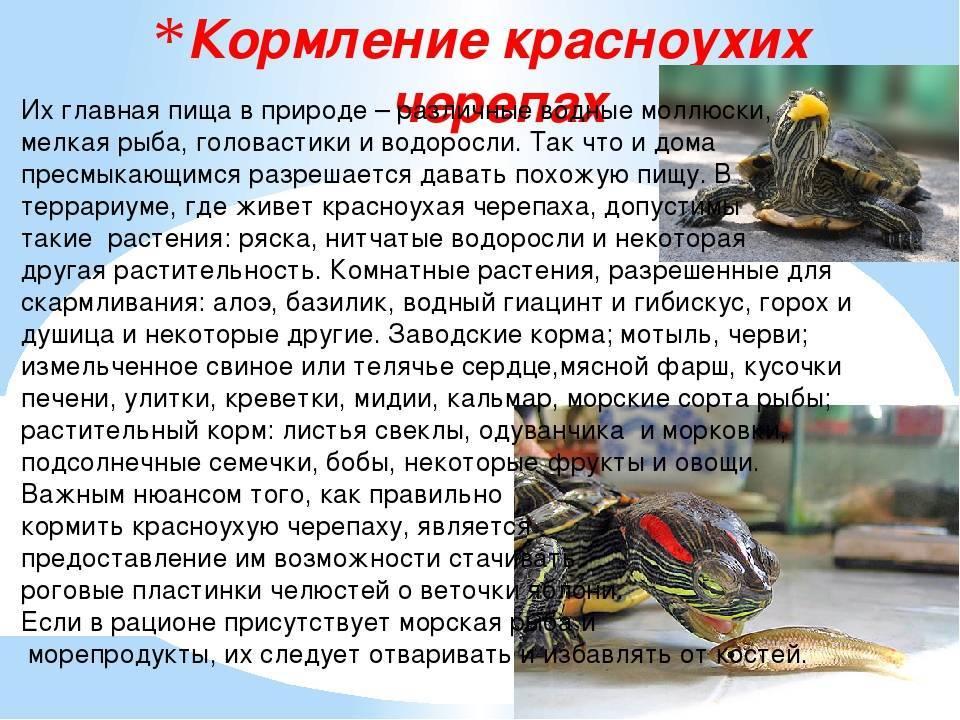 Чем кормить красноухую черепаху в домашних условиях, рацион и режим питания