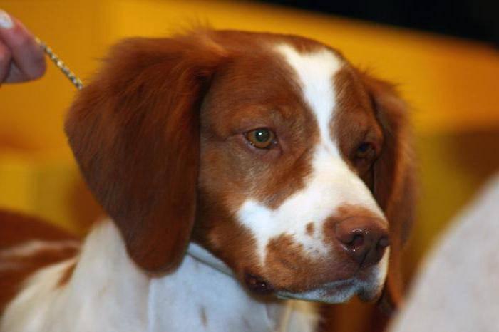 Надежный охотник и преданный друг: порода собак бретонский эпаньоль