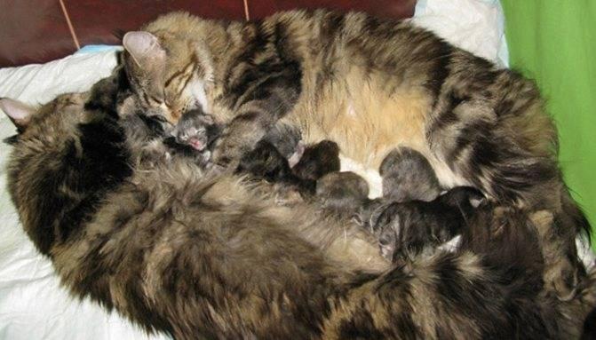 Признаки беременности у кошек и как определить срок