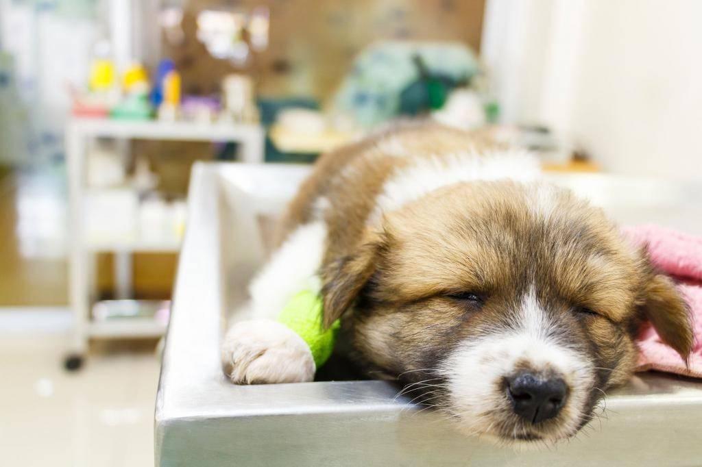 Собаку рвет желтой или белой пеной: что делать