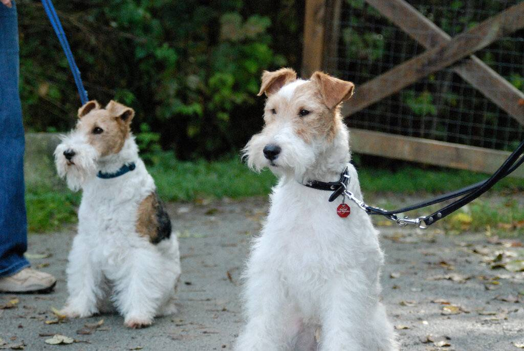 Фокстерьер: все о собаке, фото, описание породы, характер, цена