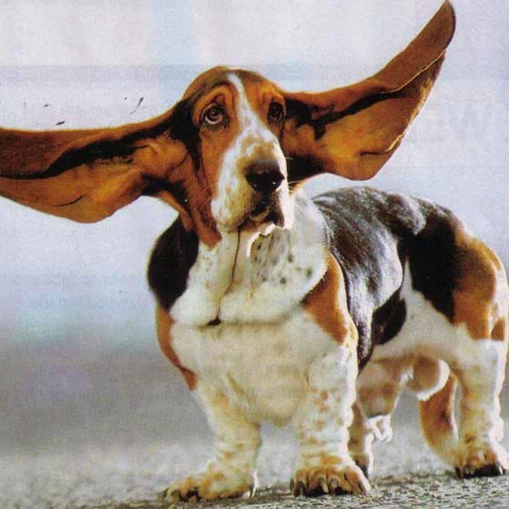 Породы собак с короткими лапами: название и описание