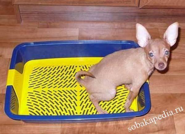 Как приучить маленького щенка ходить в туалет на пеленку?