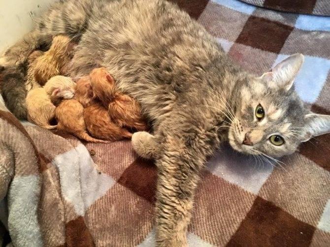 Сколько длится беременность у кошек: первые признаки беременности