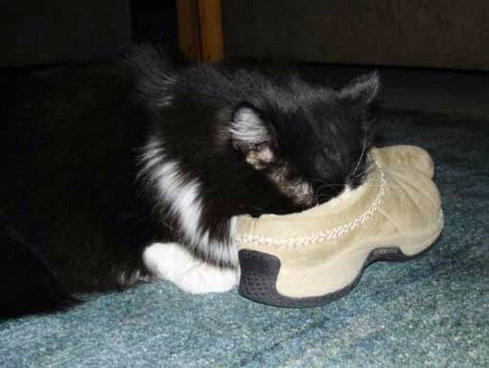 Как научить кота давать лапу