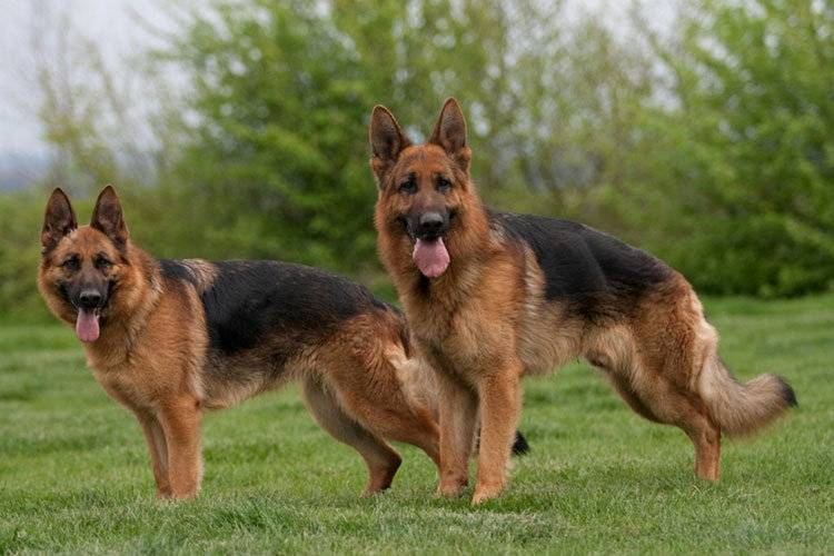 Охранные породы собак: для дома или квартиры, критерии выбора