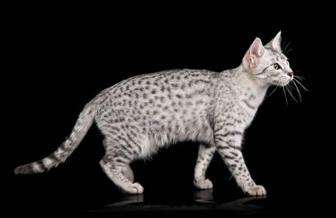 Египетская мау кошка: описание, характер, фото