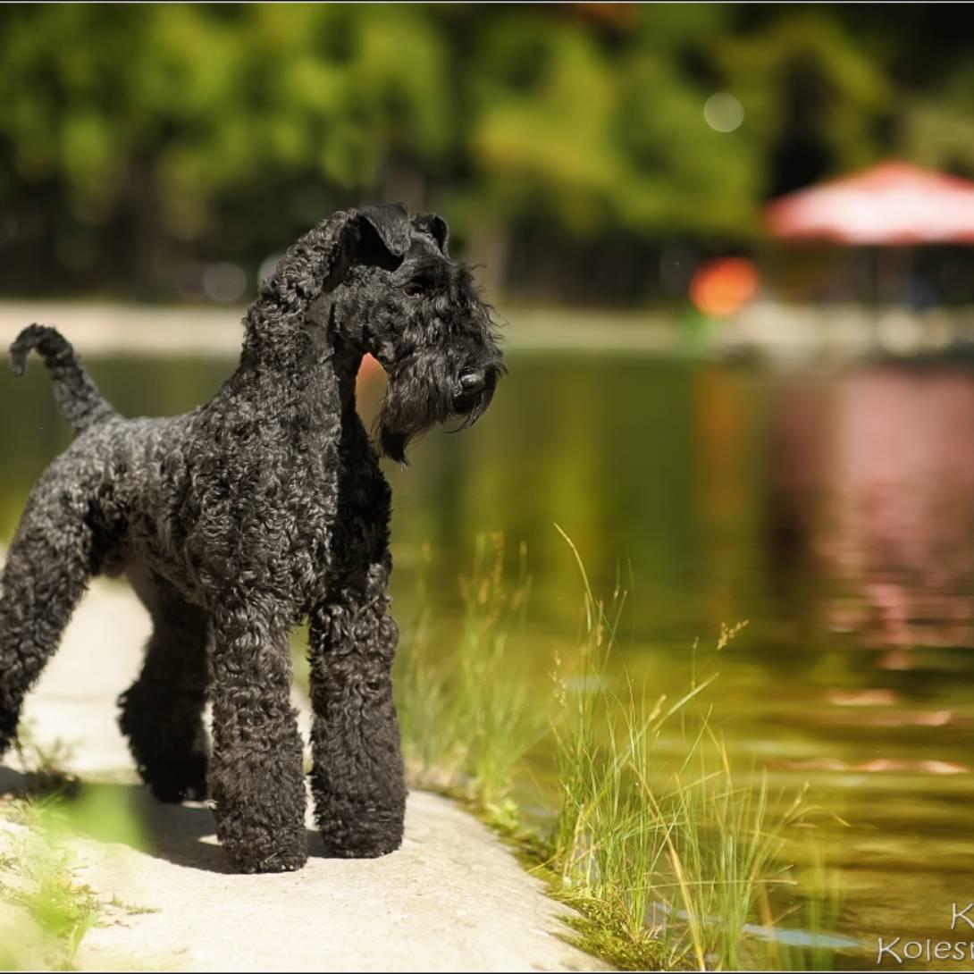 Родом из графства керри: описание породы собак керри-блю-терьер