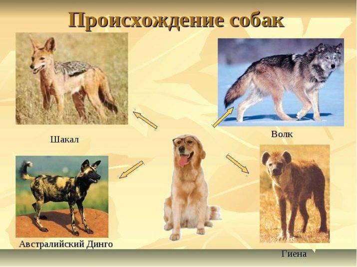 Топ-10 самых больших собак в мире (фото)