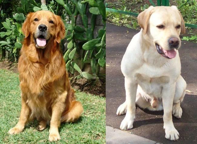 Золотистый ретривер и лабрадор: в чем разница во внешности и предназначении