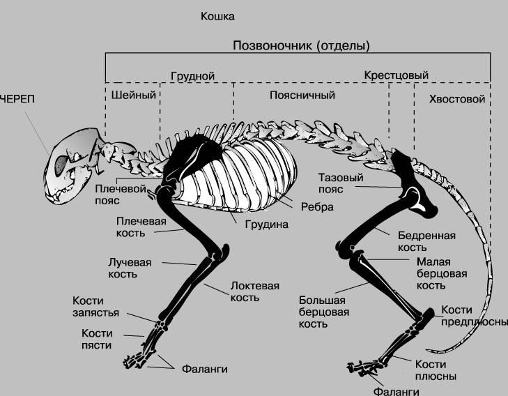 Анатомия и особенности строения скелета кошки, роль в работе органов
