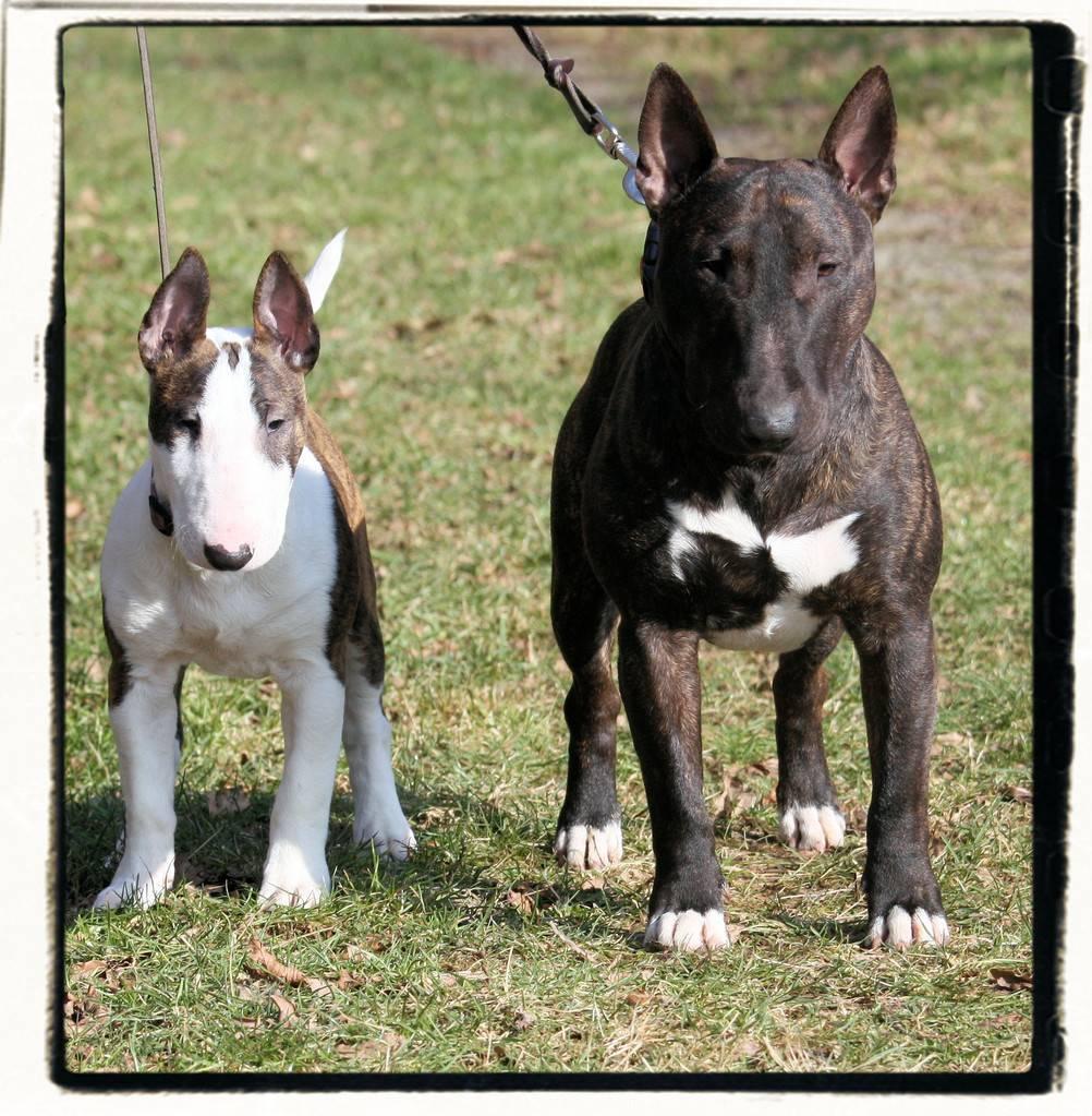 Миниатюрный бультерьер: описание породы, стандарт, характер, фото, плюсы иминусы, цена щенка + отзывы (мини-бультерьер)