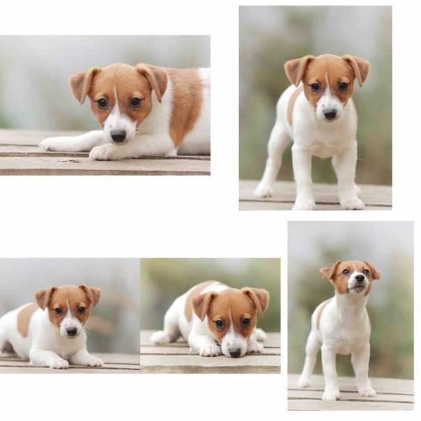 Джек-рассел-терьер - характер собаки, выращивание щенков и воспитание, тип шерсти и окрас, рацион питания