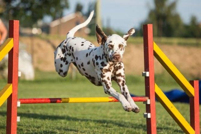 Основные правила аджилити для собак