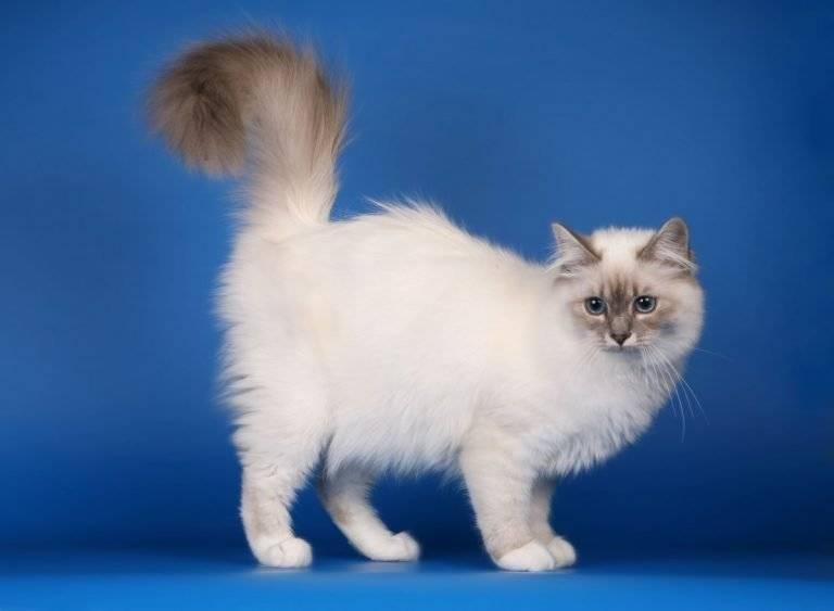 Бирманская кошка: описание породы и характера священного животного