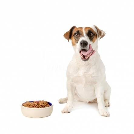Чем кормить джек-рассел-терьера: в домашних условиях