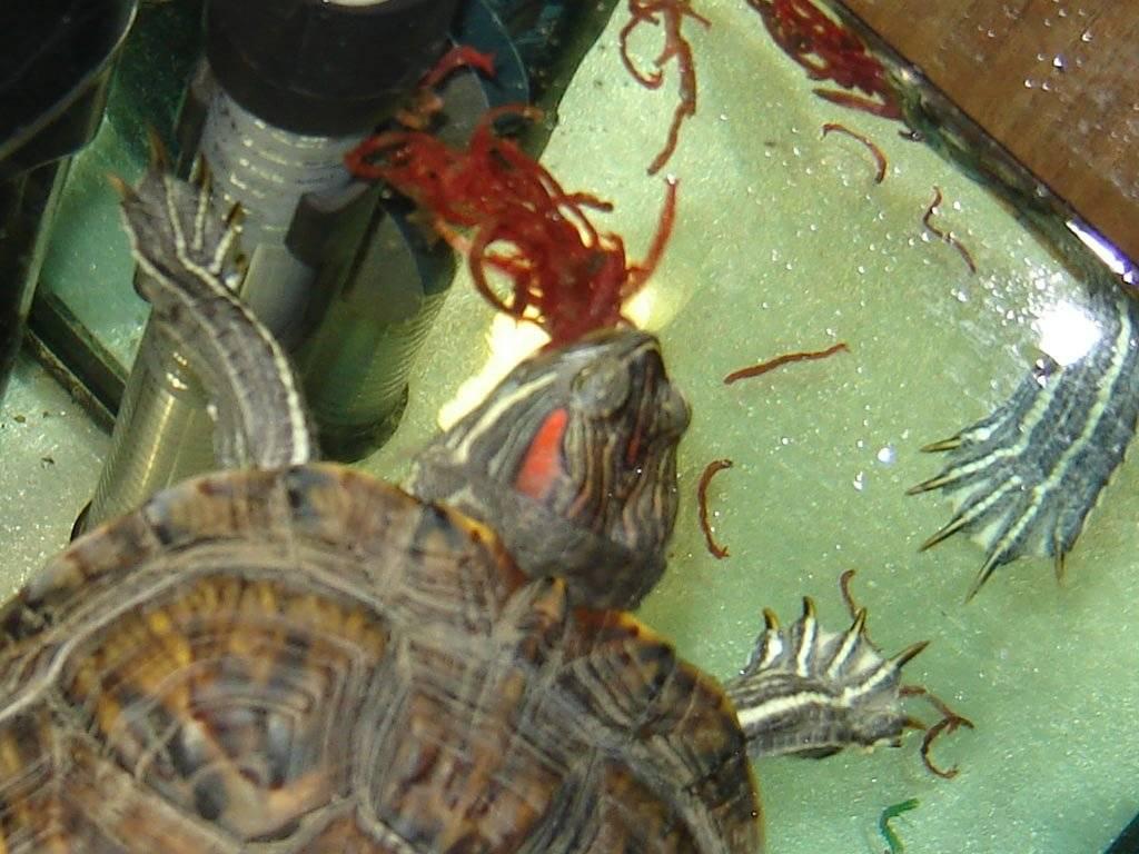 Чем кормить красноухую черепаху в домашних условиях