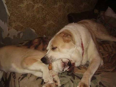 Собака чешется, грызет себя - симптомы, лечение, препараты, причины появления | наши лучшие друзья