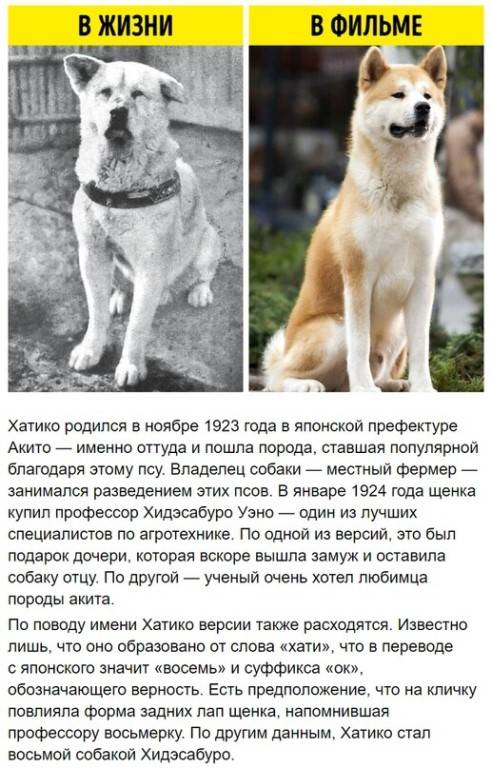Реальная история хатико, самого верного и преданного пса в мире