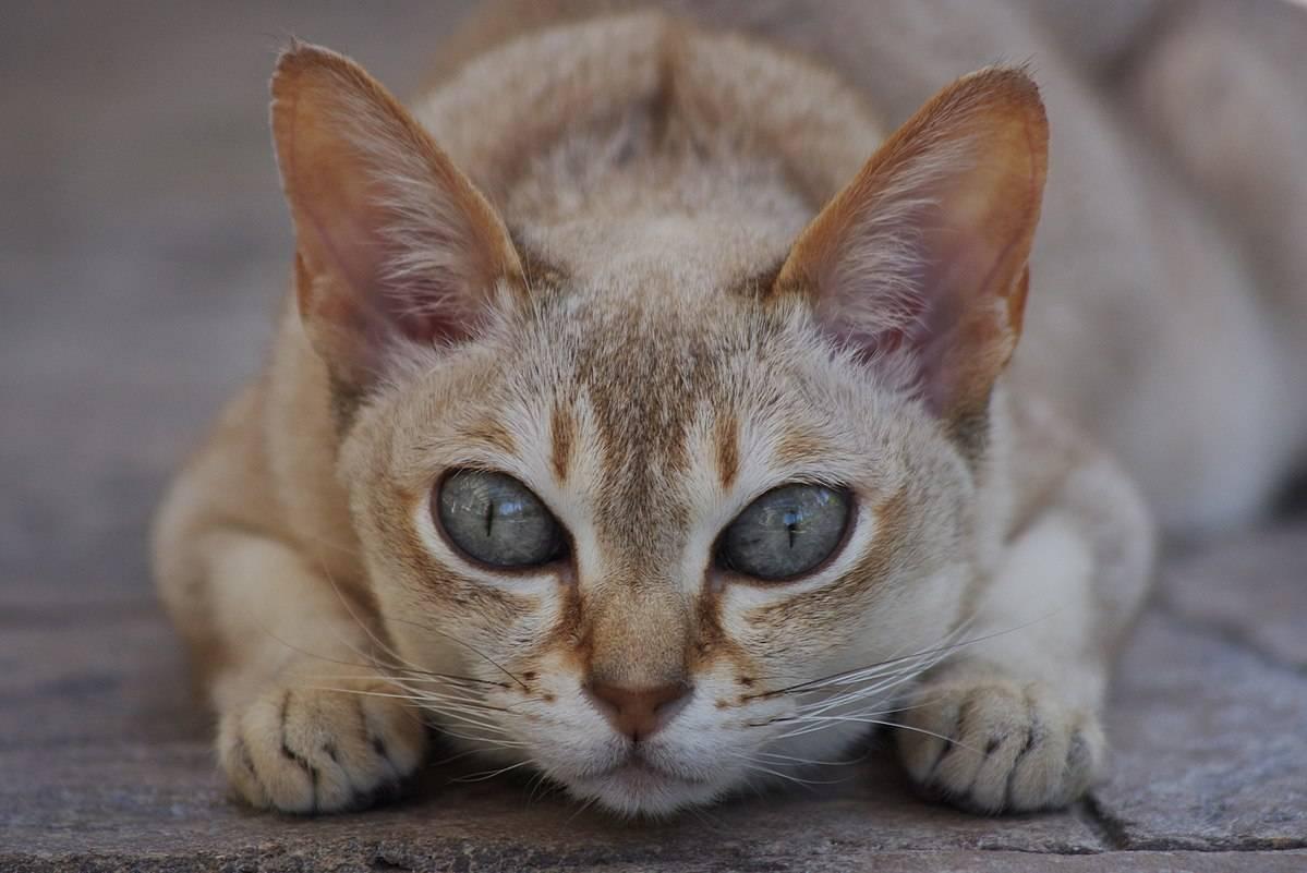 Сингапурская кошка (38 фото): описание котов породы сингапура, особенности характера котят. размер кошек. варианты окраса